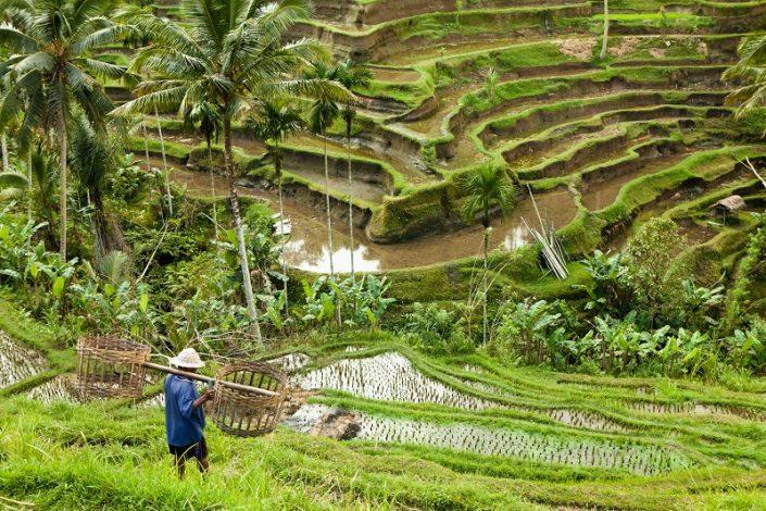 campo de arroz en Indonesia, destino de luna de miel de Bhárad