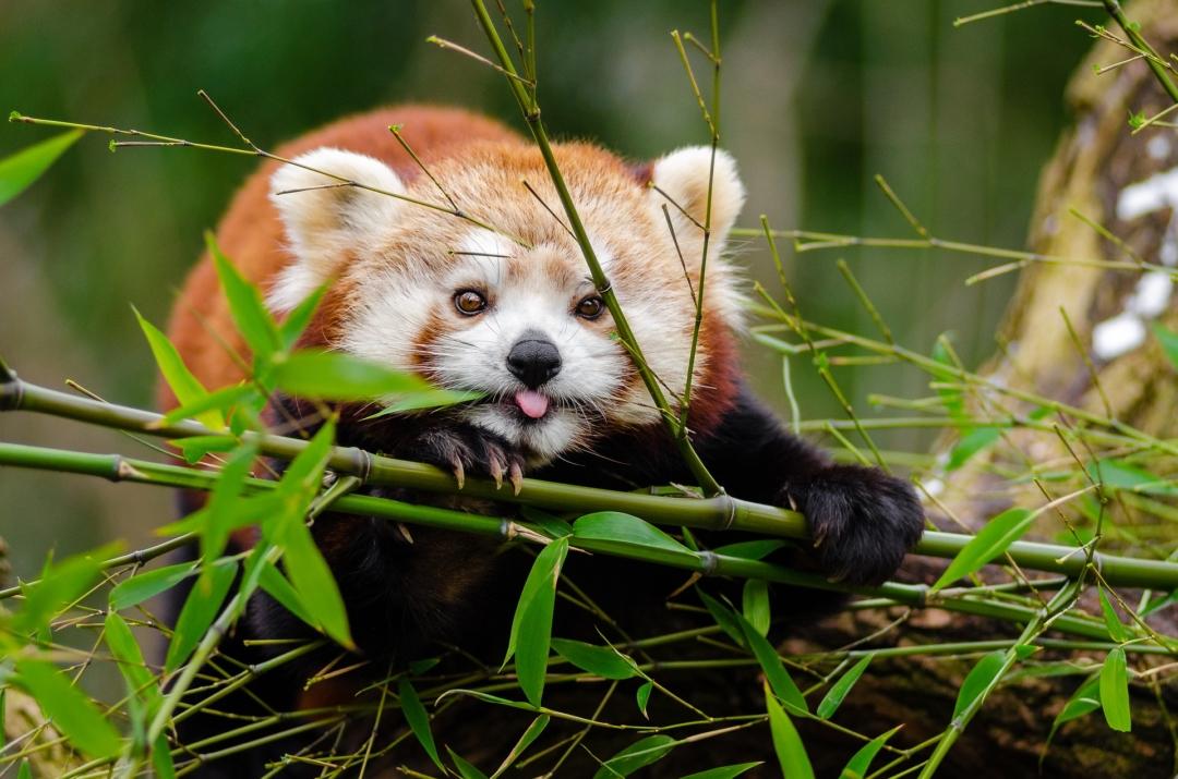 Panda rojo o panda menor