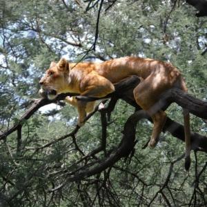 León en Zimbabue