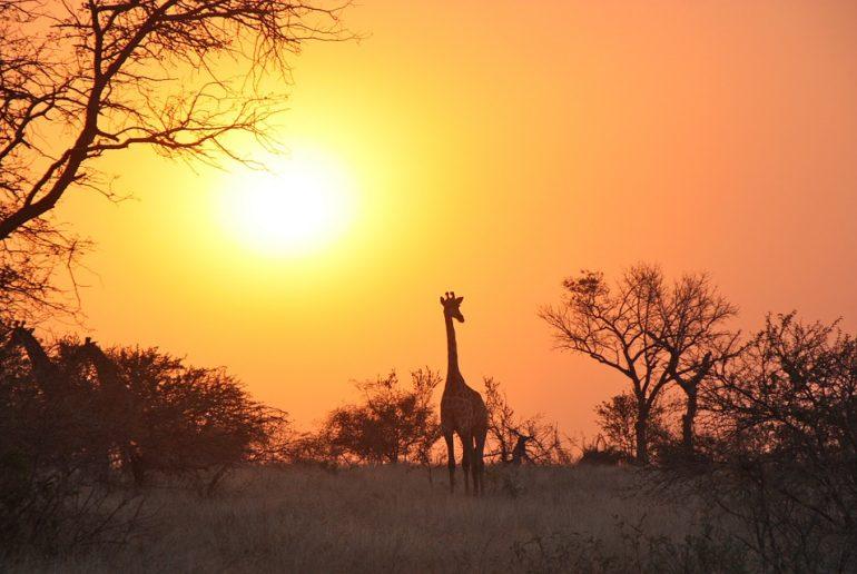 Que ver en Zambia - jirafa