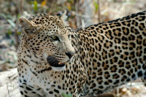 Leopardo gato