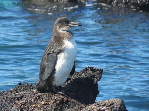 Bharad Travel. Pingüino Islas Galápagos