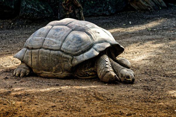 Bharad Travel. Tortuga gigante Islas Galápagos